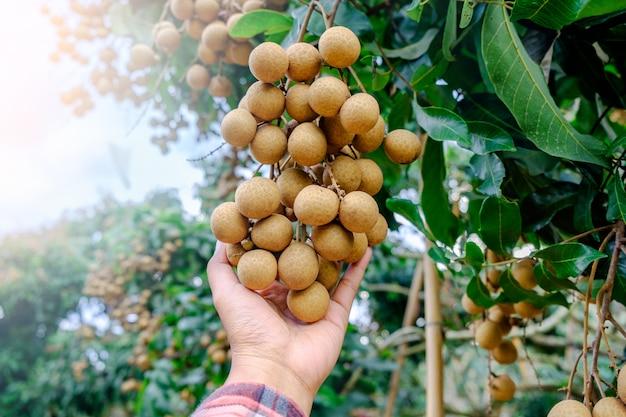果樹園で手でリュウガンを保持しているリュウガン農家。