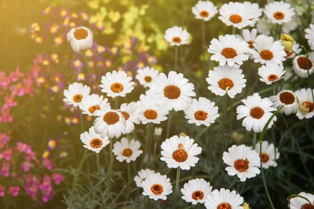 白いデイジーの花や庭の他の花