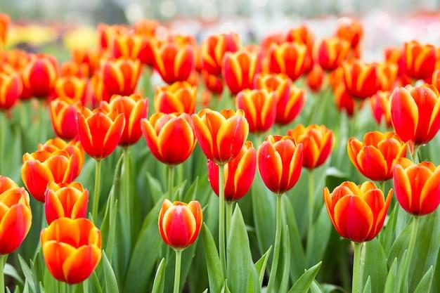 オレンジ色のチューリップの花畑