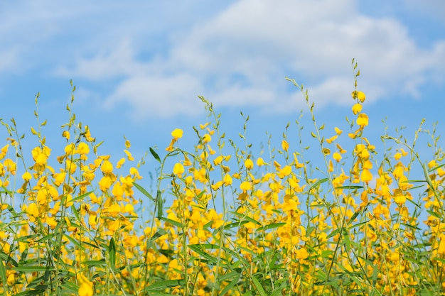 Желтые цветочные поля на синем небе