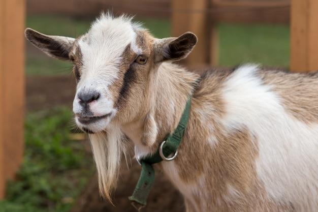 ヤギの顔写真