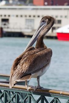 Пеликан у пирса в заливе сан-франциско
