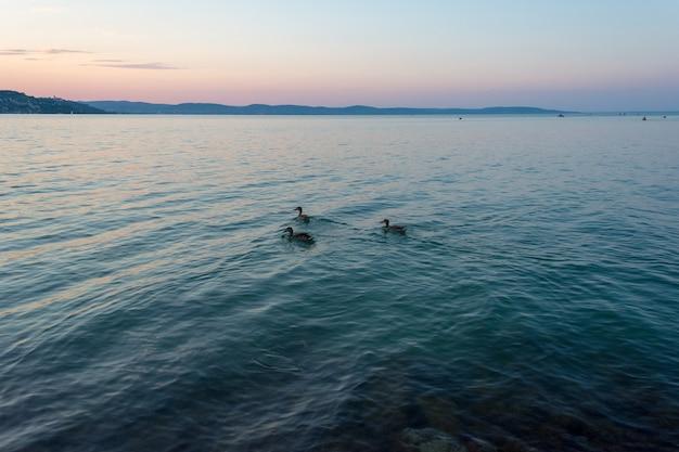 ハンガリーの夕方にバラトン湖で泳ぐアヒル群