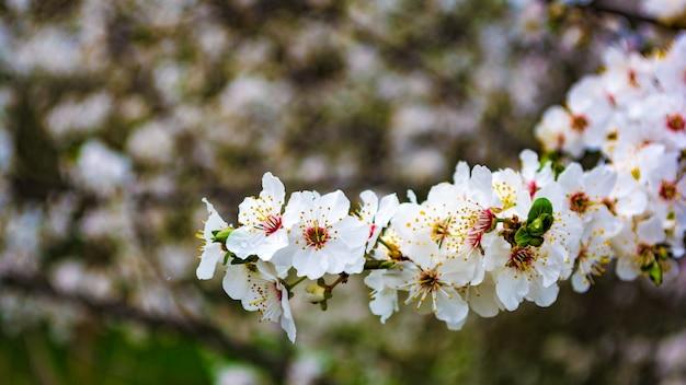 アーモンドの花の春の背景。