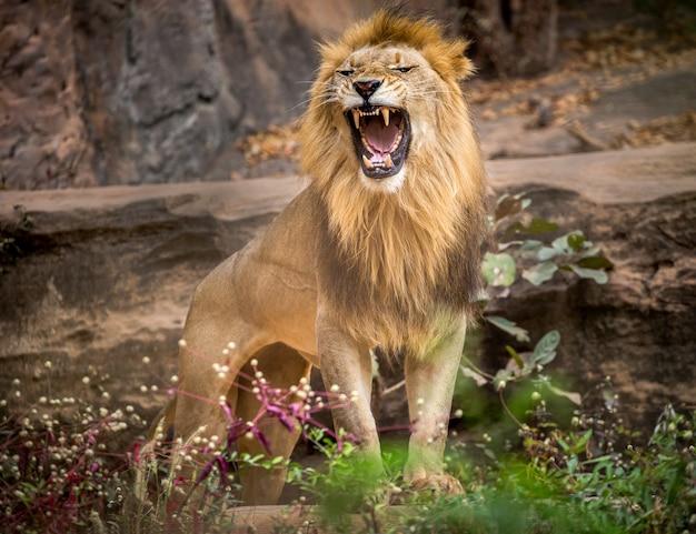 雄ライオンが轟音、動物園の自然環境の上に立っています。