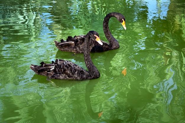 Черный лебедь в озере