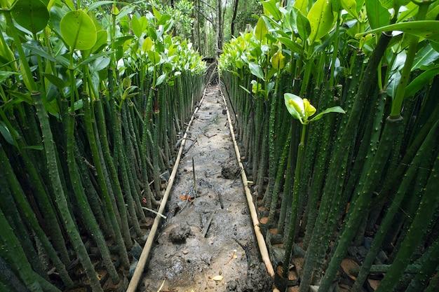 植栽のためのマングローブ苗の行。