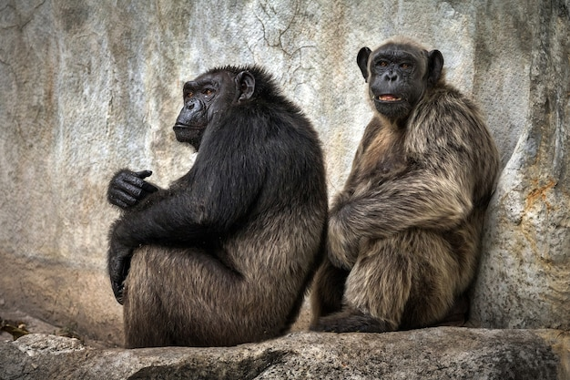 チンパンジーは自然の雰囲気の中で洞窟の壁でリラックスします。