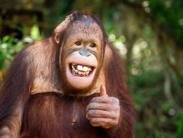 若いオランウータンは微笑み、そしてふるまいました。
