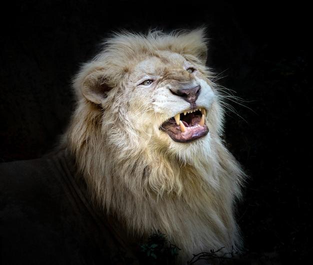 白いライオンの行動は轟音です。