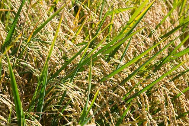 収穫の準備ができている米と穀物。