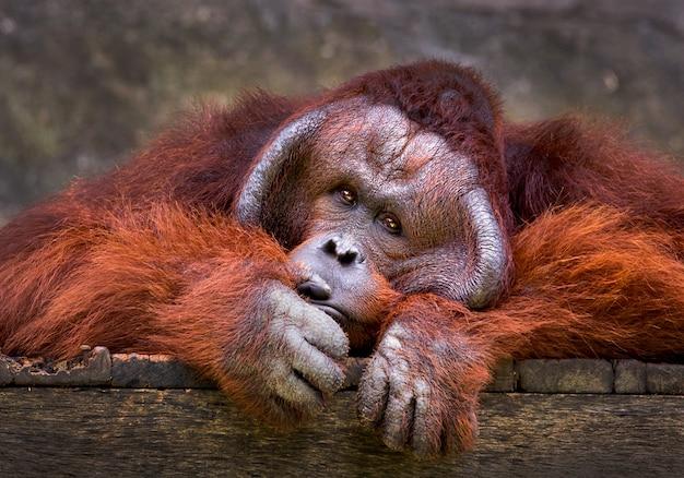 Орангутан отдыхает в естественной атмосфере зоопарка.