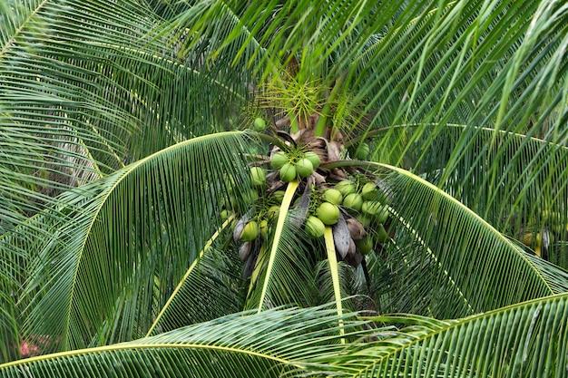 庭の木にココナッツ。