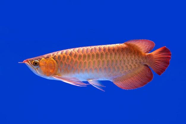 青色の背景に赤いアボカドのパターンと形状。