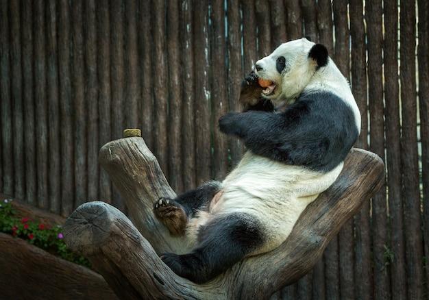 Панда отдыхает в естественной атмосфере зоопарка.