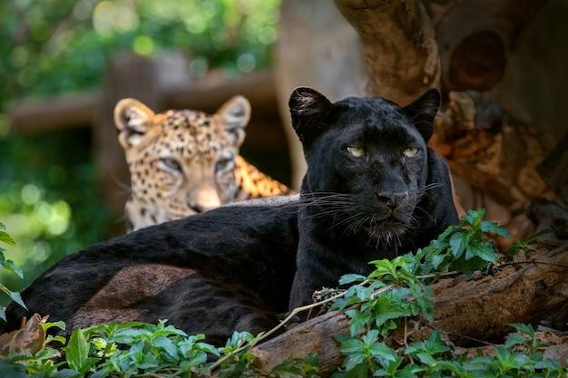 Пантера или леопард в естественной атмосфере.