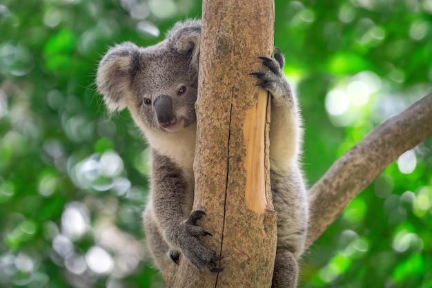 Коала малышка сидит на дереве.