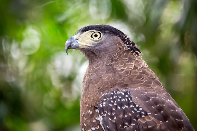 Хохлатая змея орел