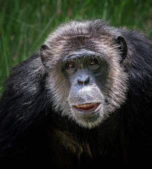 チンパンジーの顔
