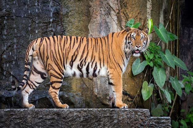 Молодой суматранский тигр стоит в естественной атмосфере зоопарка.