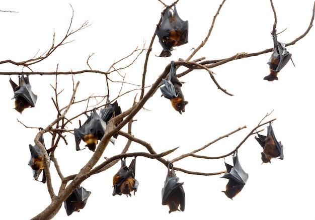 ライルの空飛ぶキツネが木にぶら下がっています。