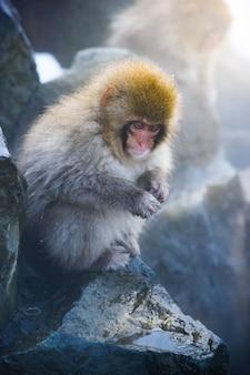 Снежная обезьяна в открытый горячий источник.