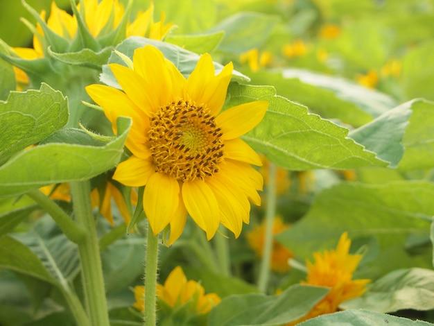美しい黄色のひまわり