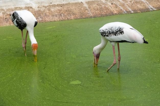 コウノトリは川で食べ物を探して黄色の赤いくちばしを閉じる