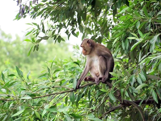 その自然の生息地で木の上に座ってマカクザル