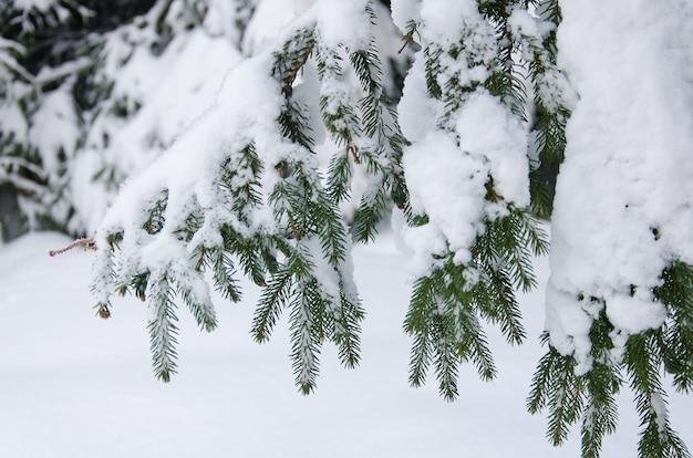 雪に覆われたモミの枝