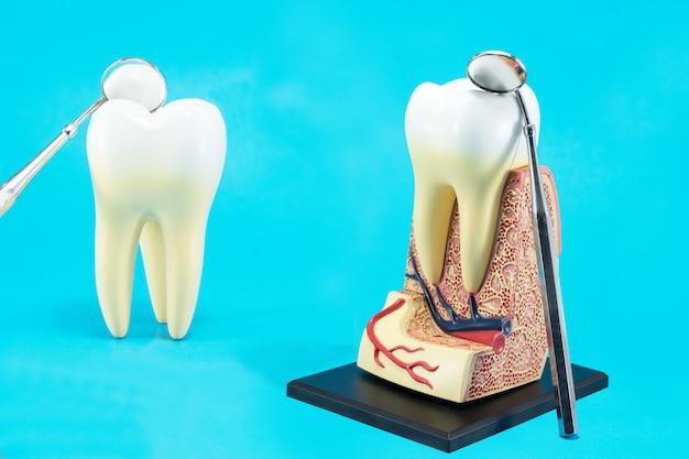 Анатомия зуба на синем