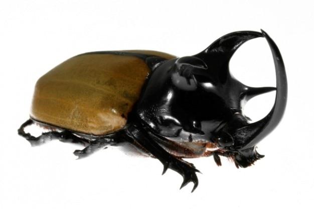 Пять рогатый жук-носорог