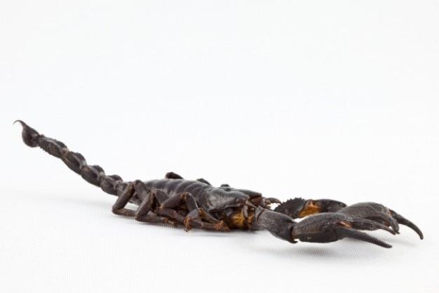 Черный скорпион