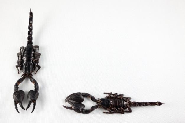 黒サソリのペア