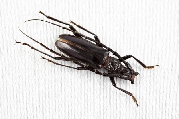 カミキリムシ科甲虫