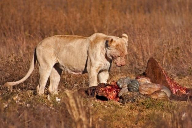 Лев добычу эротику