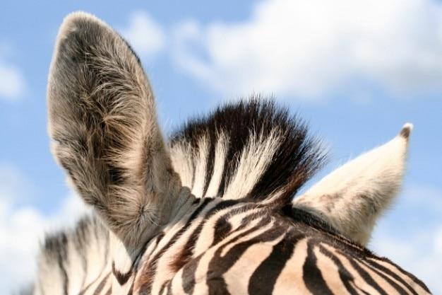 シマウマの耳