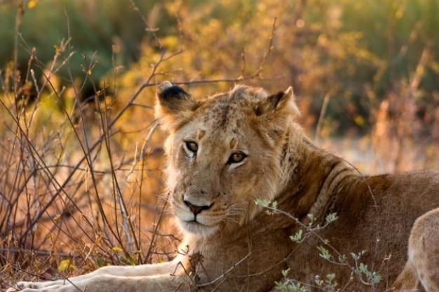 クルーガー国立公園雌ライオン