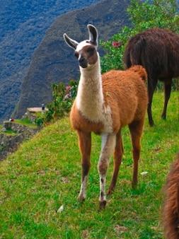 Мачу-пикчу ламы