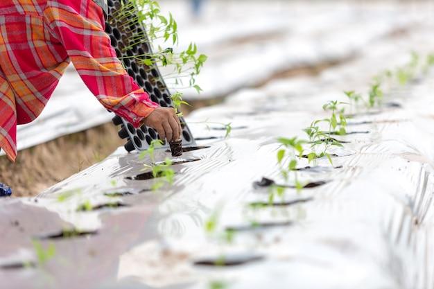 農業有機農法の雑草へのマルチ栽培による植林。