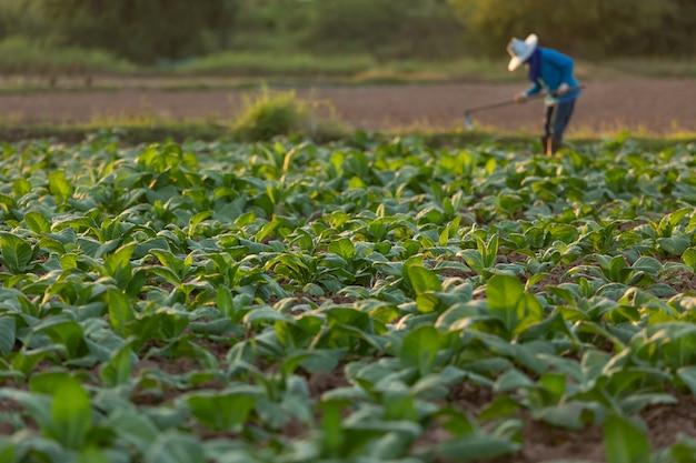 Кубинский табачный фермер обрабатывает почву на поле, окруженном зелеными табачными листьями.