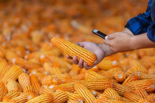 農家は畑でトウモロコシの穂軸をチェックしています。携帯電話で。