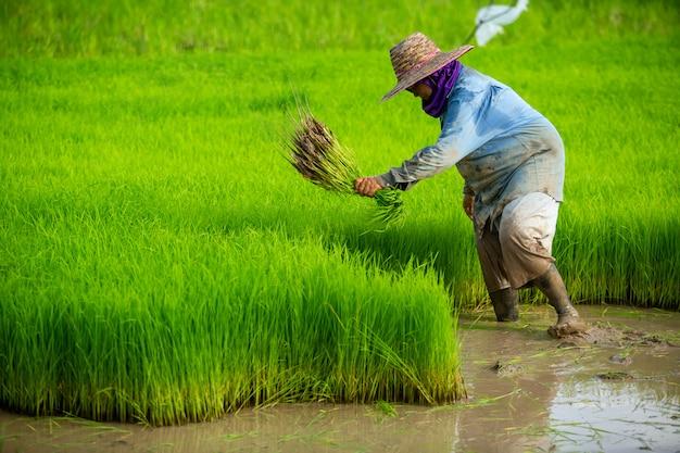 Азиатский фермер пересаживает саженцы риса в рисовом поле, фермер засаживает рис в сезон дождей.