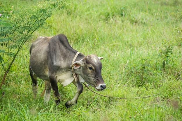 古い牛食べる草