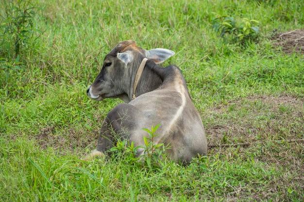 休んでいる古い牛