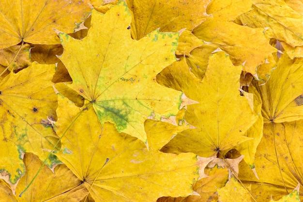 秋の黄色い葉の背景