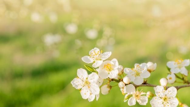 Белые вишни на зеленом фоне весны