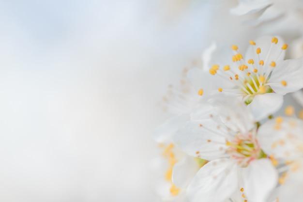 Весенний фон с вишней