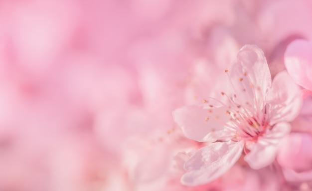 Розовая вишня, макро весенний фон