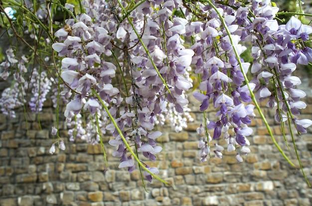 Цветы глицинии на фоне кирпичной стены